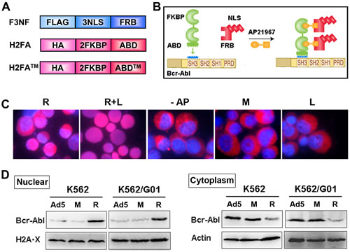 RNTS directs Bcr-Abl from cytoplasm into the nucleus.