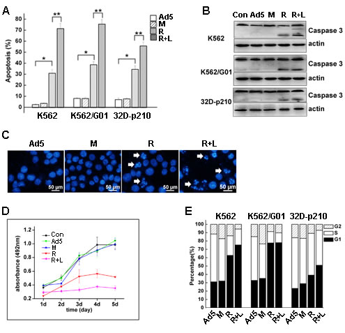 RNTS induces apoptosis and inhibits proliferation of CML cells.