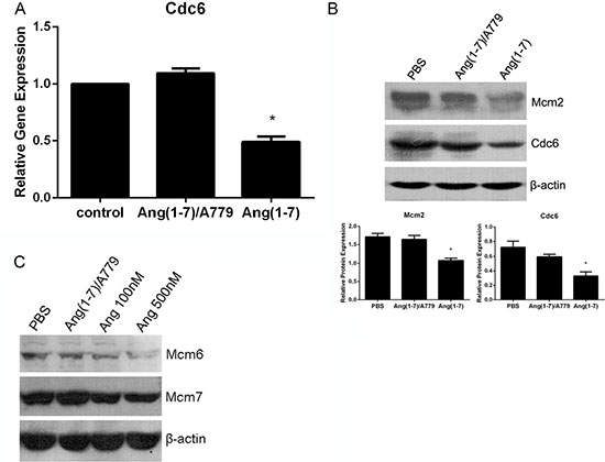 Ang-(1-7) downregulates Cdc6 mRNA and protein levels in Spc-A1 cells.