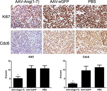 Ang-(1-7) reduces Spc-A1 xenograft tumor cell proliferation.