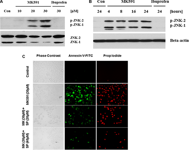 MK591 treatment triggers activation of c-Jun N-terminal Kinase which plays a critical role in apoptosis.