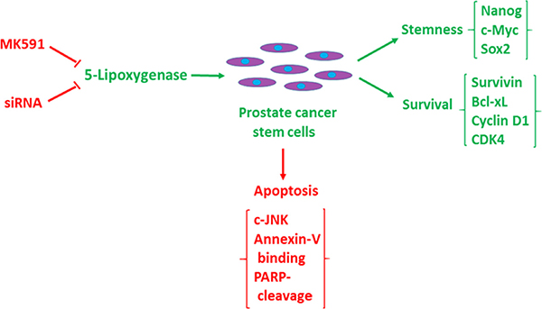 Diagrammatic representation of the role of 5-lipoxygenase in the maintenance of stemness and survival of prostate cancer stem cells.