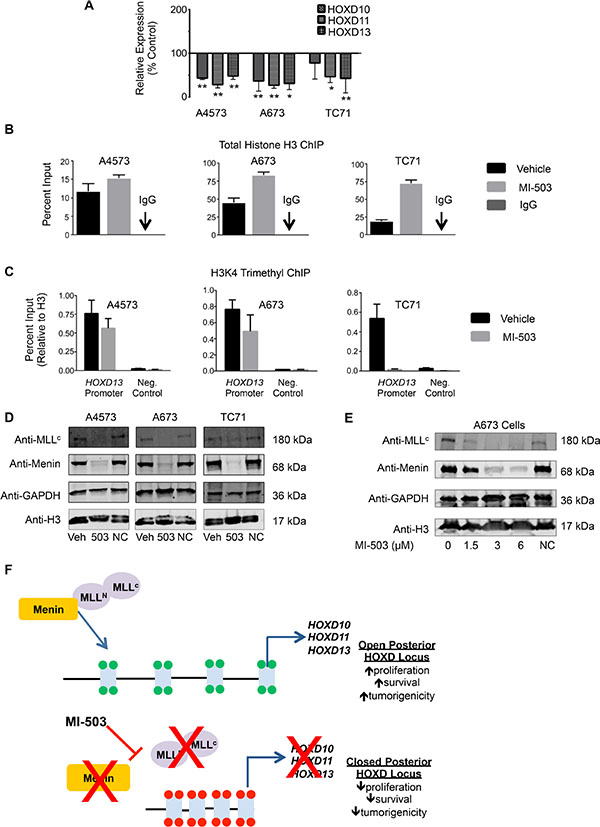 MI-503 treatment of Ewing sarcoma leads to loss of posterior HOXD gene and MLL and menin protein expression.