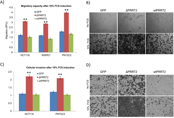 PRRT2 plays a role in cellular migration and invasion.