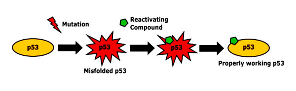 Restoration of p53 conformation by reactivating substances.