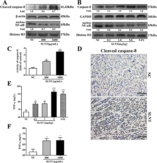 SLNT activated caspase-8, decreased nuclear NF-κB and increased TNF-α in vitro and in vivo.
