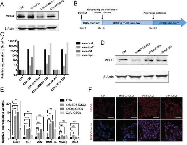 Generation of iCSCs by OSKM reprogramming.