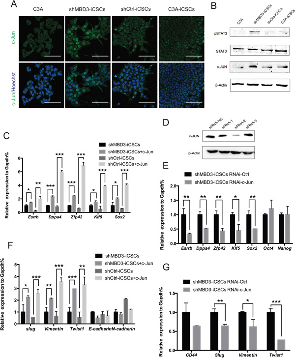 c-JUN induces pluripotent genes and EMT-related genes.