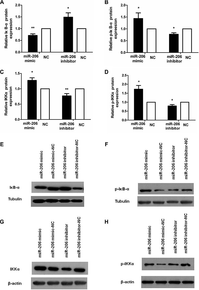 miR-206 decreased IκB-α and increase p-IκB-α, IKKα, and p-IKKα expression in TNF-α-treated cells.