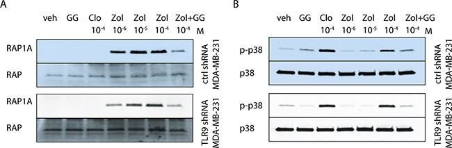 Bisphosphonates have similar effects on p38 and Rap1A in control and TLR9 shRNA cells.