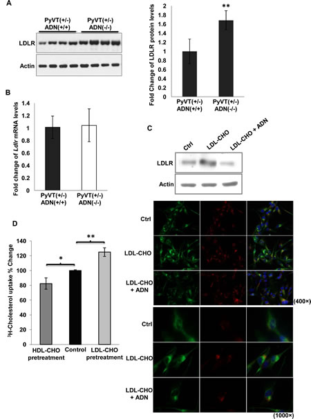 Adiponetin inhibited LDLR expression.