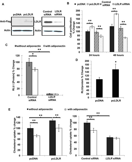 Overexpression of LDLR facilitated cell proliferation, increased cholesterol uptake and activated nuclear β-catenin activity in MDA-MB-231 human breast cancer cells.