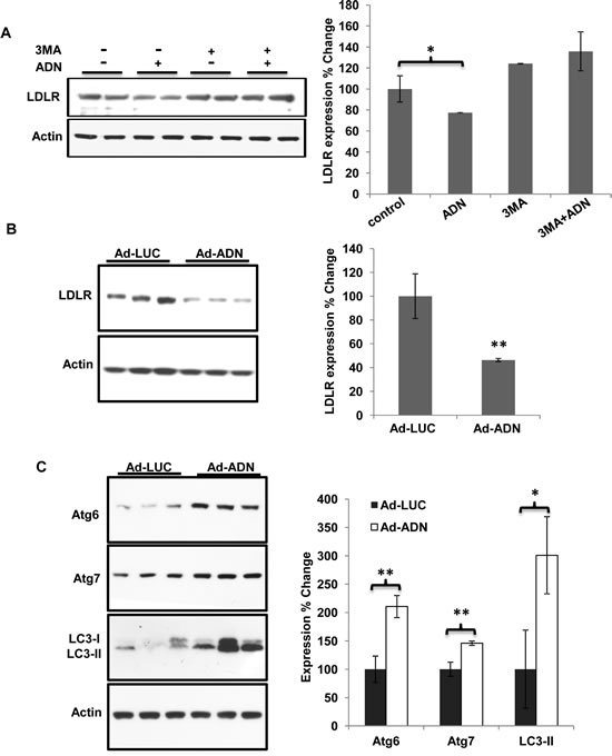 Adiponectin promoted LDLR degradation by increasing autophagy.