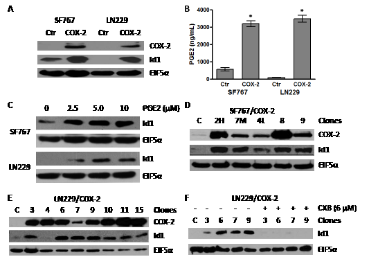 Overexpression of COX-2 leads to increase in Id1 protein level.