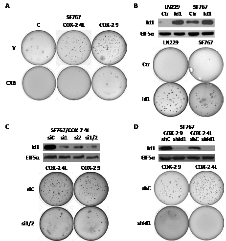 COX-2 overexpression induces
