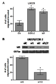 COX-2 overexpression promotes glioma cell migration through Id1.
