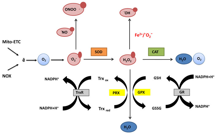 Generation and scavenging of reactive oxygen species (ROS).