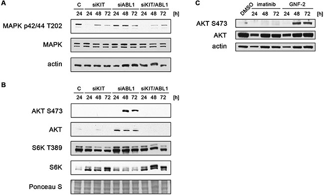 ABL1 knockdown and chemical inhibition of ABL1 induce activation of AKT.