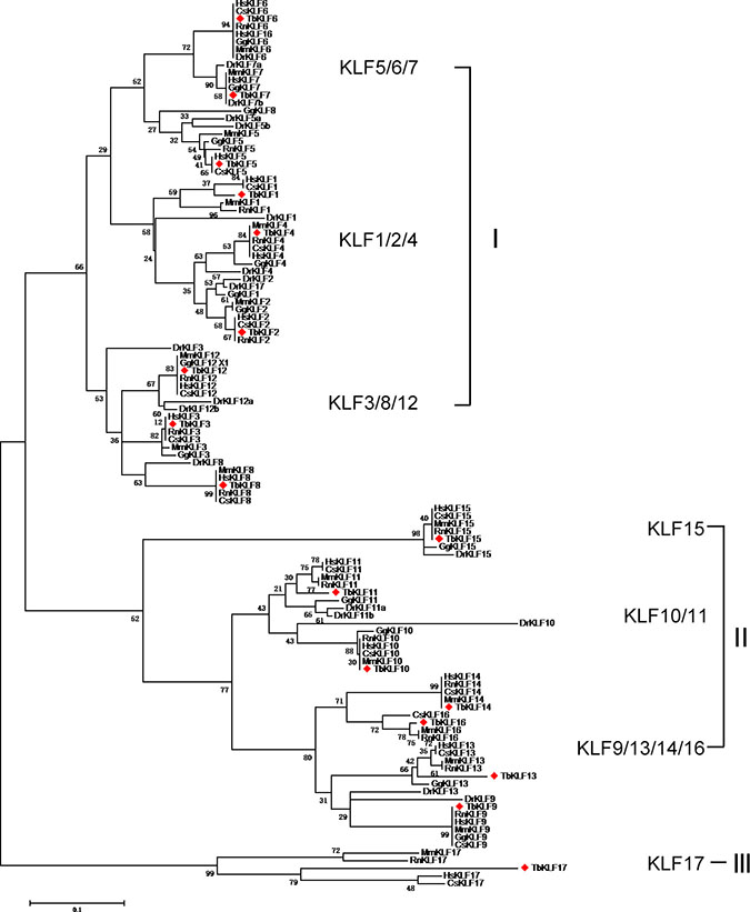 Maximum Likelihood Phylogenetic tree of KLFs from human, monkey, rat, mouse, tree shrew, chicken and zebrafish sequences.