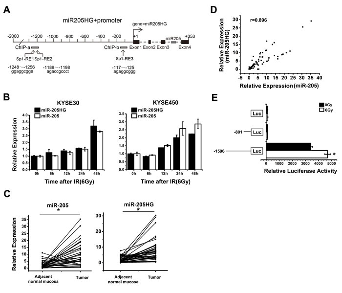 The identification of the putative transcriptional activity of miR-205 promoter.