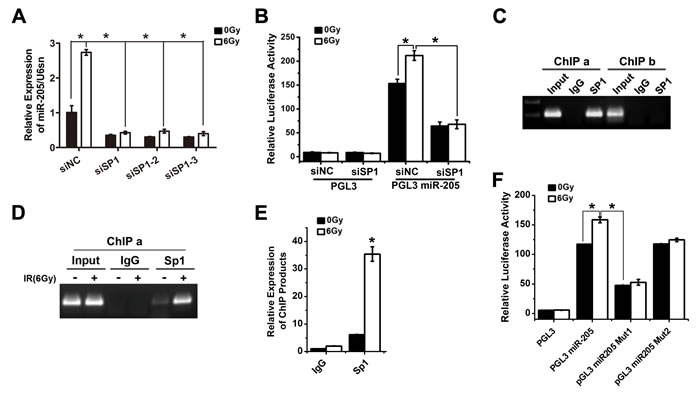 Transcription factor Sp1 binds to and activates the miR-205 promoter upon IR exposure.