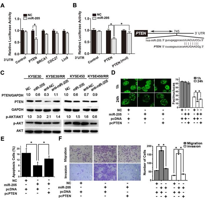 miR-205 promotes radiation resistance through down-regulation of PTEN.