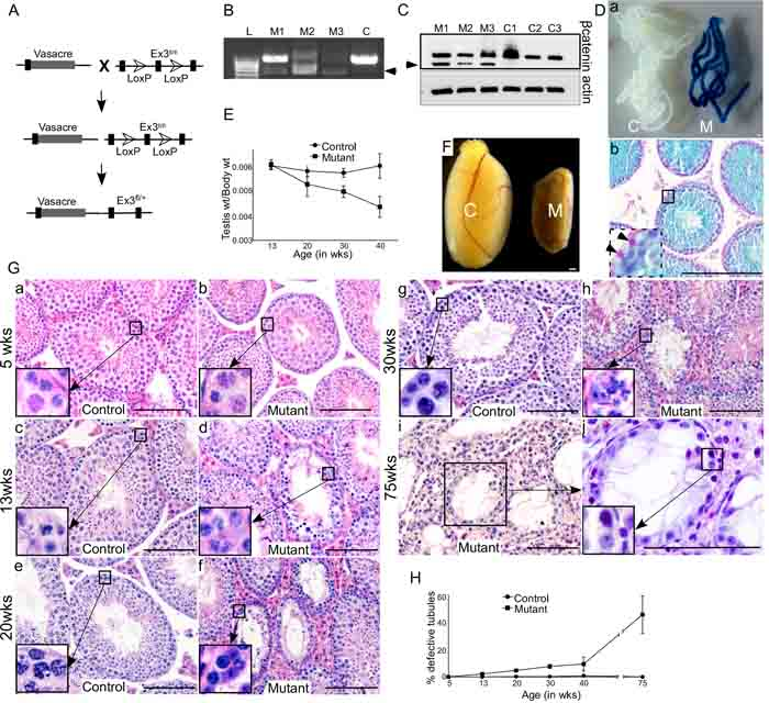 Overactivation of Wnt signalling in germ cells results in defective spermatogenesis.