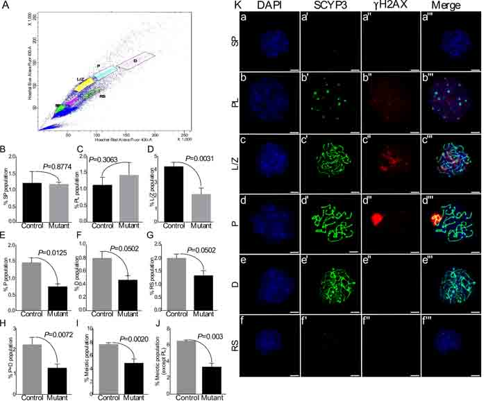 Flow sorting of germ cells shows reduction in meiotic germ cell population in mutant testes.
