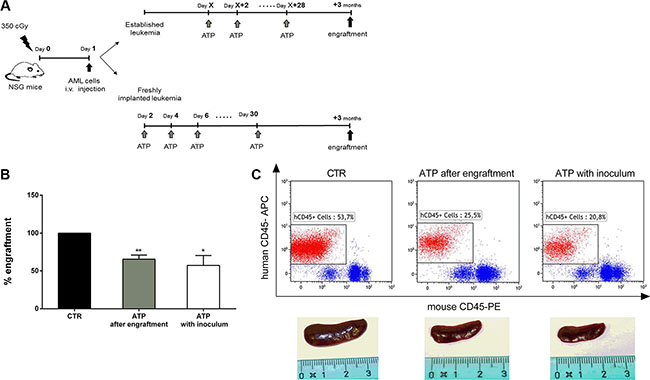 ATP administration reduces leukemia cell growth in NSG mice.