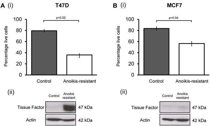 Tissue Factor expression is increased in anoikis-resistant (cancer stem cell enriched) cells.