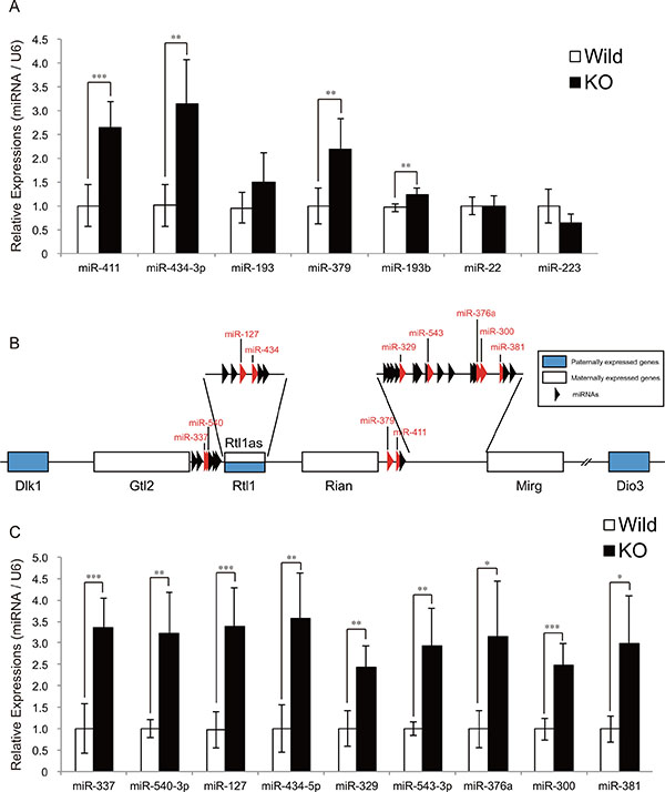 The expression of miRNAs derived from the Dlk1-Dio3 locus is upregulated in myostatin-deficient skeletal muscle.