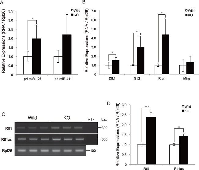 Myostatin deficiency increases transcription at the Dlk1-Dio3 locus.
