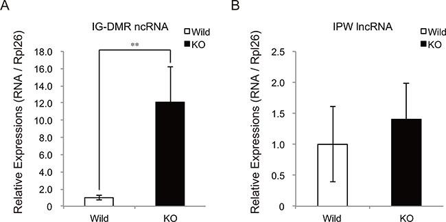 Increased expression of IG-DMR ncRNA in myostatin-deficient skeletal muscle.