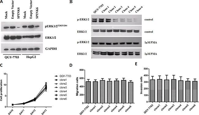 SPINK6 inhibits ERK1/2 phosphorylation.