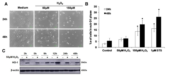 Sub-lethal oxidative stress does not induce apoptotic cell death.