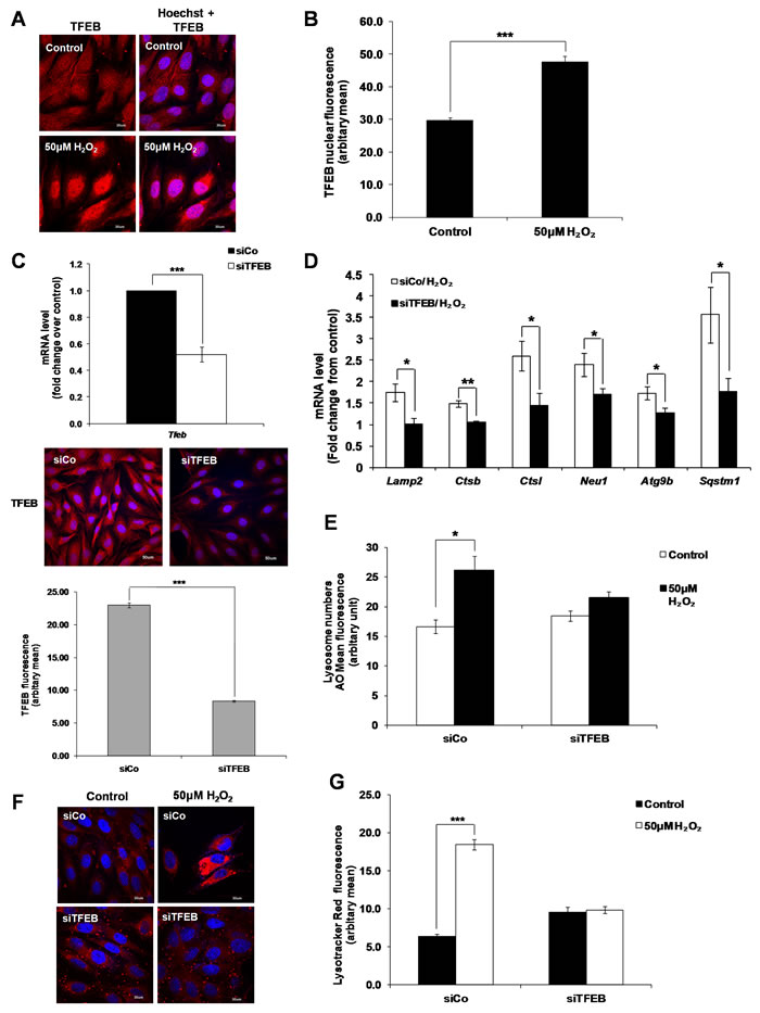 TFEB regulates lysosome biogenesis induced by a sub-lethal oxidative stress.
