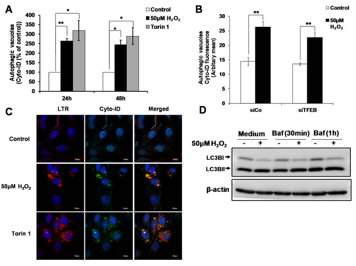 TFEB is not involved in the increase in autophagic vacuoles induced by sub-lethal oxidative stress.