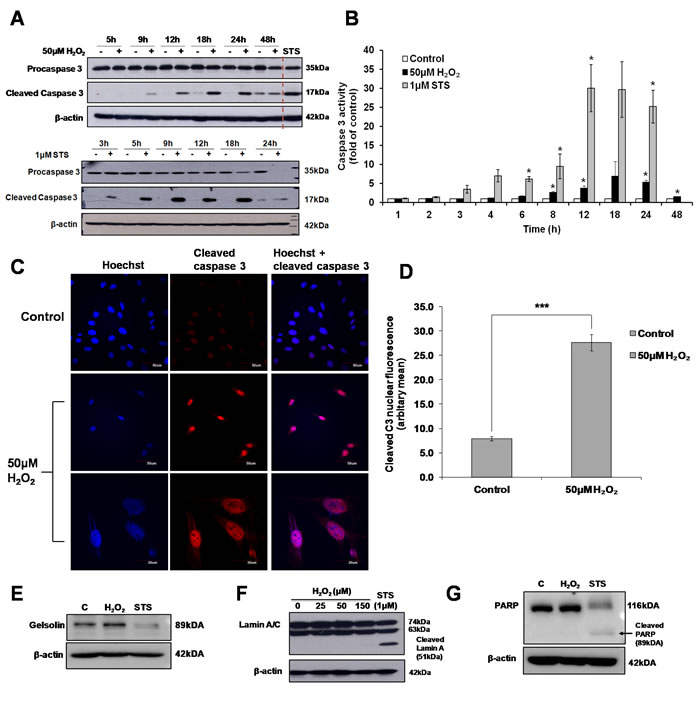 Sub-lethal oxidative stress induces the activation of caspase 3.