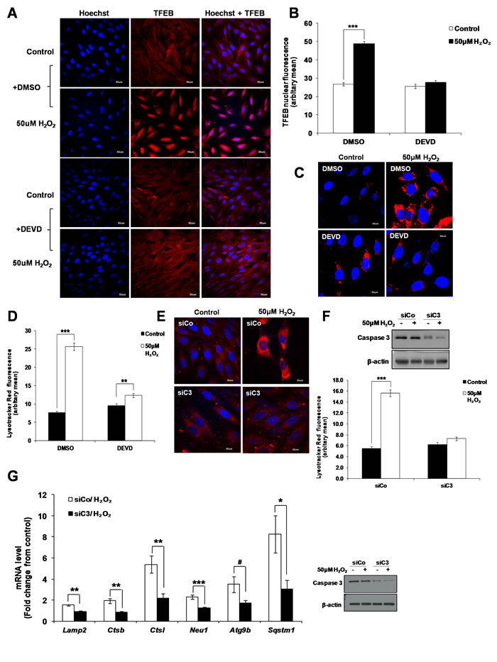 Caspase 3 is involved in the activation of TFEB leading to lysosome biogenesis.