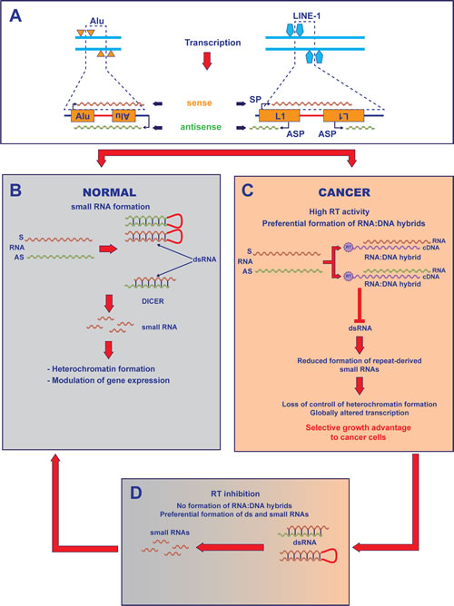 Model for RT-mediated control of the transcriptome in cancer cells.