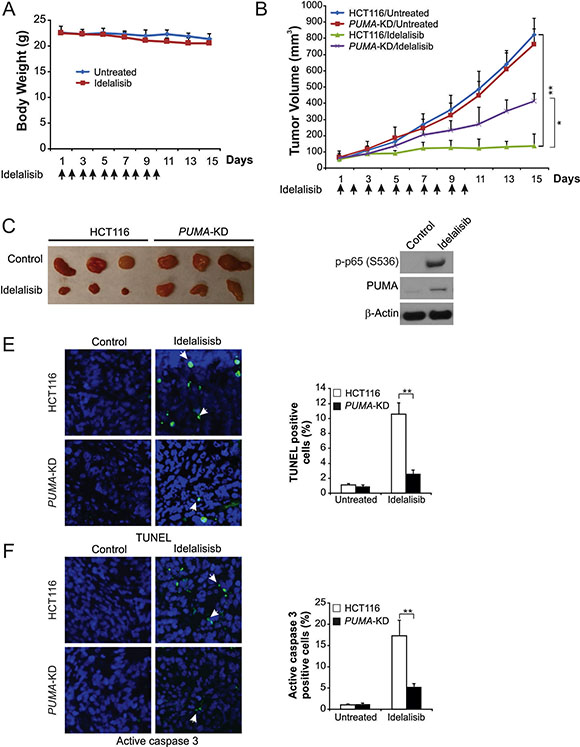 PUMA mediates the antitumor effects of idelalisib in a xenograft model.
