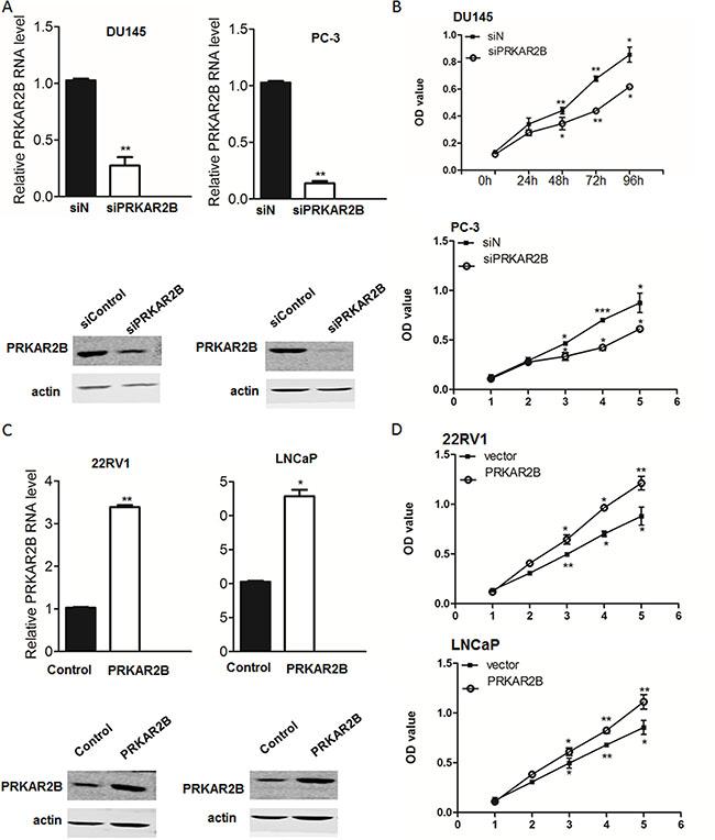 PRKAR2B promotes CRPC cell proliferation.