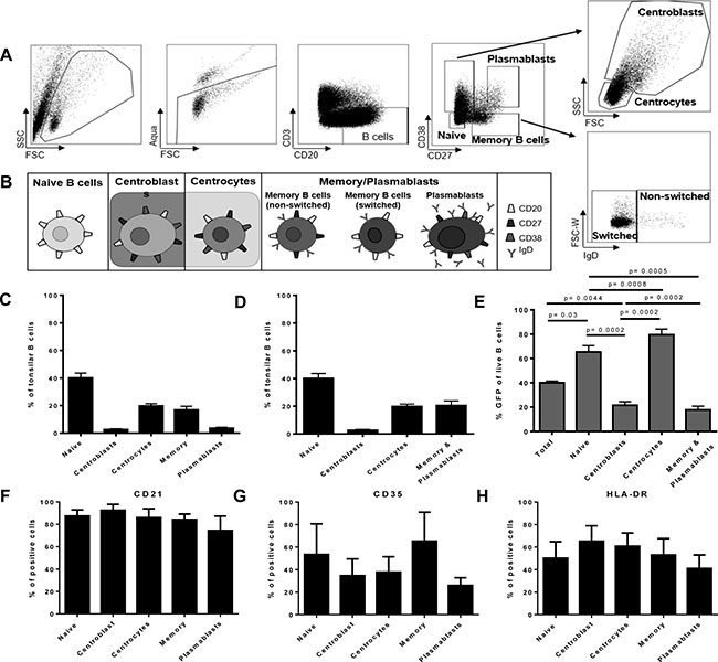 Flow-sorted human germinal center and pre-germinal center B cell subsets show higher susceptibility to EBV than post-germinal center subsets.