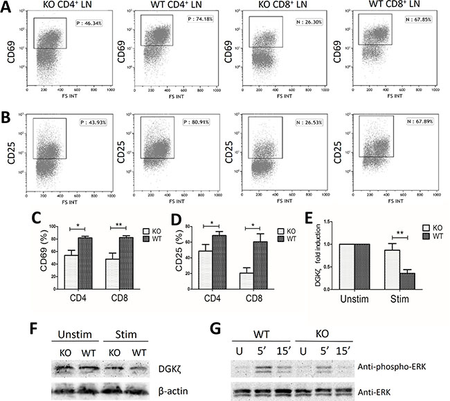 Decreased activation markers and ERK phosphorylation in miR34a-deficient T cells.