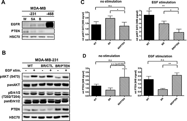 EGFR and PTEN expression in basal breast cancer cell lines.