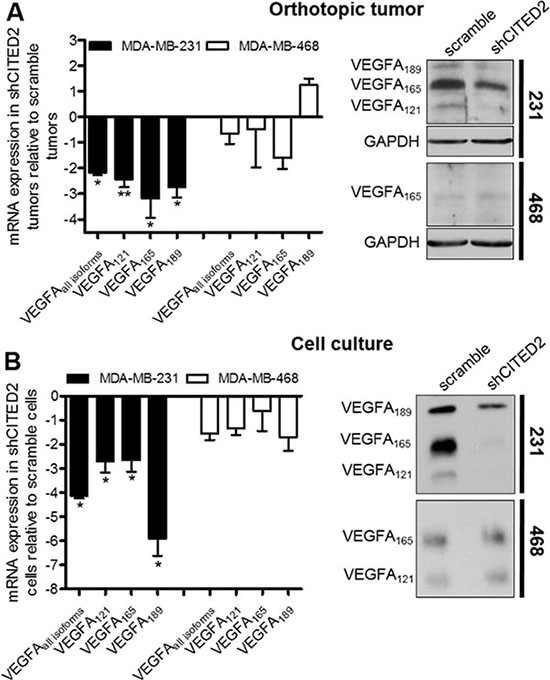 CITED2 silencing attenuates expression of VEGFA isoforms in MDA-MB-231 tumors.