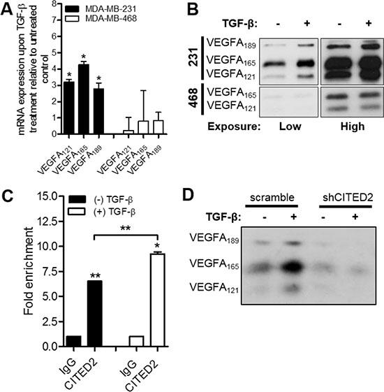 CITED2 regulates TGF-β-induced expression of VEGFA.
