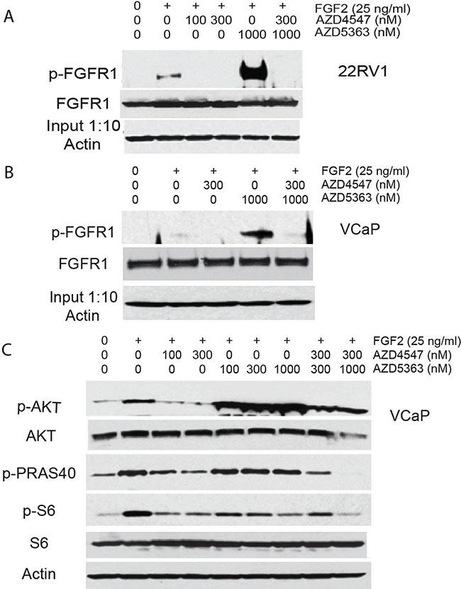 Upregulation of FGFR signaling by AZD5363.