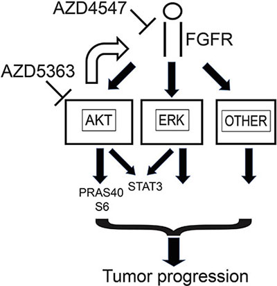 Summary of impact of AZD4547 and AZD5363 on cellular signaling in prostate cancer.