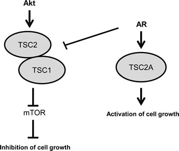 Model: Full-length TSC2 inhibits cell growth, whereas isoform TSC2A activates cell growth.
